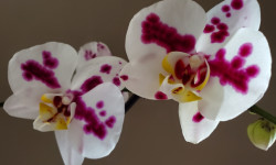 A close-up photo of two orchids.